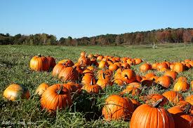Pumpkin Farm Ct by Guide To New England Pumpkin Patches New England Today