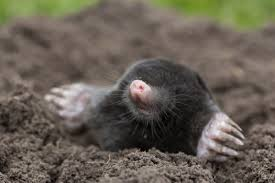 Mole & Vole Control In Maryland | BOG Pest Control How To Get Rid Of Moles Organic Gardening Blog Cat Captures Mole In My Neighbors Backyard Youtube Animal Wikipedia Identify And In The Garden Or Yard Daily Home Renovation Tips Vs The Part 1 Damaging Our Lawn When Are Most Active Dec 2017 Uerstanding Their Behavior Mole Gassing Pests Get Correct Remedy Liftyles Sonic Molechaser Alinum Covers 11250 Sq Ft Model 7900