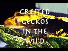 Crested Gecko Shedding Behavior by Natural Behaviors Of The Crested Gecko Youtube