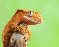 Halloween Harlequin Crested Gecko For Sale by 175 Crested Gecko Lana By Bulinko Photography Animals Plants