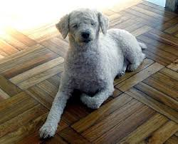 Dogs That Dont Shed Large by Which Dog Breeds Don T Shed Large Dog Breeds That Don T Shed Picture