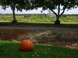 Wheatland Pumpkin Patch by Humor Halloween For All