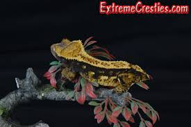 Halloween Harlequin Crested Gecko For Sale by Extreme Cresties Recently Sold Home Of High End Crested Geckos