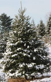 Silvertip Christmas Tree by Choosing Your Tree U2013 Christmas Tree Council Of Nova Scotia