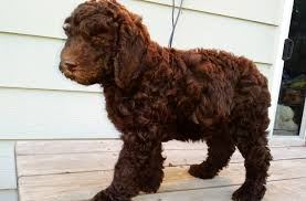 Do Miniature Aussiedoodle Shed by Labradoodle Breed Standard Aussiedoodle And Labradoodle Puppies