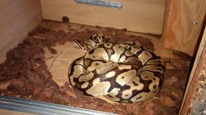 Ball Python Shedding Eating by Ball Python Reptiles For Sale In London Preloved
