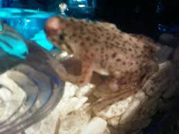Do Aquatic Dwarf Frogs Shed Their Skin by Nose Growth African Dwarf Frog Flippers U0027n U0027 Fins