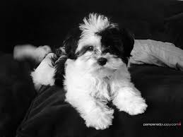 Small White Non Shedding Dog Breeds by 132 Best Havanese Photography Images On Pinterest Havanese