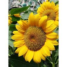 Sunflower Preschool Activity Learn About Growth And Make