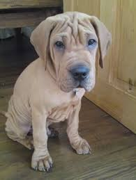 Do Shar Peis Shed A Lot by Sharp Eagle Mix Of Chinese Shar Pei And Beagle