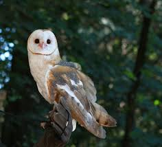 Free Images : Nature, White, Night, Animal, Wildlife, Wild ... Barn Owl Looking Over Shoulder Perched On Old Fence Post Stock Eccles Dinosaur Park Carnivore Carnival The Salt Project Barn Moving Head Side To Slow Motion Video Footage 323 Best Owls Images Pinterest Owls Children And Free Images Wing White Night Animal Wildlife Beak Predator 189 Beautiful Birds Sat A Falconers Glove Photo Royalty Image Paris Owl 150 Pictures Snowy More