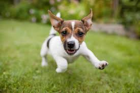 Miniature Dog Breeds That Dont Shed by How To Tell When A Puppy Is Full Grown Lovetoknow