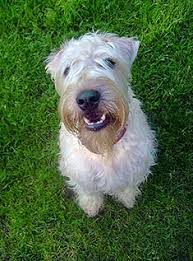 soft coated wheaten terrier breed information
