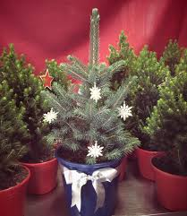 Potted Christmas Trees For Sale by Live Potted Christmas Trees U2014 Merlino U0027s Christmas Trees