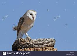 Australian Barn Owl (Tyto Delicatula) Adult, Standing On Log ... Sleich Toysrus Best 25 Barn House Decor Ideas On Pinterest Melissa Sigler Photographychic Vintage Wedding At Weston Red Farm Mother Son Father Fall Family Pictures Red Barn Decorah Theme Song 1970 Youtube Alburque Photographer Location Spotlight Abq Biopark Images Stock Pictures Royalty Free Photos And Adult Book Jersey New Kristi Nude Shindig Time Music San Luis Obispo New Times Bagwell Camping Trip 2015 With Review Weymouth Lyndsey Paige Photography Haley Joey Lewandowski Little Hen Stage Background Little