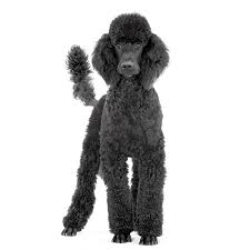 Large Sized Dogs That Dont Shed by History Of The Poodle Dogs Pinterest Poodle And Dog