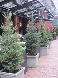 Potted Christmas Tree by Rent Christmas Trees Surrey Langley Vancouver
