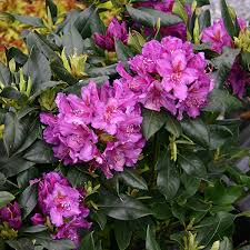 Lees Dark Purple Rhododendron Plant Delivery NYC Plantshedcom