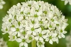 buy allium nigrum bulbs order ashridge nurseries
