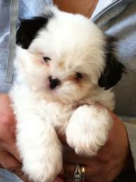 Adorable Shih tzu puppy 7 weeks old All white with just the
