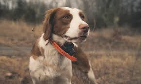 american brittany project upland hunting dog profile