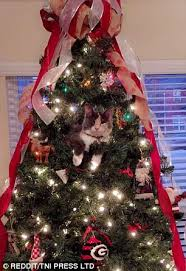 Are Christmas Trees Poisonous To Dogs Uk by Pictures Show Cats Causing Mayhem In Christmas Trees Daily Mail