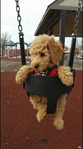 Do F1 Sheepadoodles Shed by Best 25 Miniature Labradoodle Ideas Only On Pinterest
