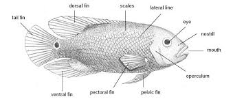 Though Tilapia Zillii Eats The Stems And Leaves Of Water Plants When Swimming In Schools Fish Usually Move Almost Simultaneously This Tends