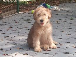 our next dog will be a soft coated wheaten terrier just like