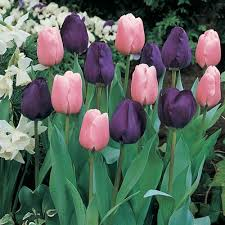 tulip bulbs for sale buy tulips of every color and type
