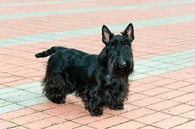 Dogs That Shed The Most Least by Scottish Terrier Dog Breed Information Pictures Characteristics
