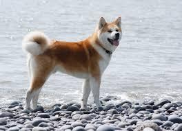 Does Akita Shed A Lot by Japanese Akita Pets At Home