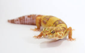 Halloween Harlequin Crested Gecko For Sale by Albino Leopard Gecko For Sale Online Baby Albino Leopard Gargoyle