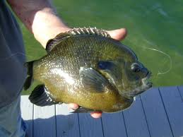 Pumpkin Seed Sunfish Pictures by Herman Brothers Blog Huge Two Pound Monster Bluegill