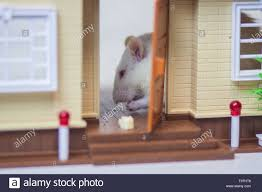 100 Mouse Apartment The Concept Of A Stranger In The House In The Apartment Rats