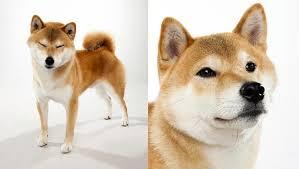 Do Shibas Shed A Lot by Shiba Inu Dog Breed Selector Animal Planet
