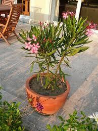 notre jardin secret penstemon et laurier