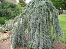 Cedrus Atlantica Glauca Pendula Weeping Blue Atlas Cedar