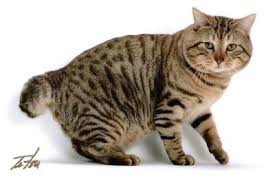 bobtail cat american bobtail cat facts for