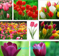 wholesale tulip flower bulbs buy cheap tulip flower bulbs from