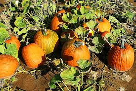 Pumpkin Moon Oak Park Illinois by 194cb511db243bbc380bbacd28291709aeccb097 Jpg
