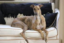 Do Italian Greyhounds Shed A Lot by Frequently Asked Questions U2013 G R A C E