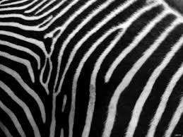 Oversized Saucer Chair Zebra Print by Zebra Print Saucer Chair Gallery Of Zebra Print Swivel Accent