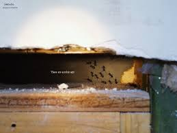 Flying Ants In Bathroom Window by Carpenter Ants And Their Control United Exterminating Company