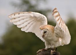 Barn Owl | Beauty Of Bird Flying Eurasian Eagle Owl Colorfull Winter Stock Photo 304031924 Barn Facts Pictures Diet Breeding Habitat Behaviour Best 25 Owl Sounds Ideas On Pinterest Owls Beautiful Wowzers Blog Centre Gloucester Wikipedia 10 Fascating About Bckling Estate A Barn Owls Home National Trust Birds Of Prey Shavers Creek Raptor Center Kohrphotos The Barn Owl Wallpapersbirds Unique Nature Hd Wallpapers