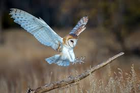 Friends' Arts Barn Owl Landing Spread Wings On Stock Photo 240014470 Shutterstock Barn Owl Landing On A Post Royalty Free Image Wikipedia A New Kind Of Pest Control The Green Guide Fence Photo Wp11543 Wp11541 Flight Sequence Getty Images Imageoftheday By Subject Photographs Owls Kaln European Eagle Coming Into Land Pinterest Pictures And Bird