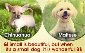 Best House Dogs That Dont Shed by A List Of The Best Small Dog Breeds With Cute Pictures