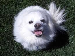 Toy American Eskimo Dog Shedding by American Eskimo Dog Pets Cute And Docile