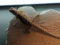 Bearded Dragon Heat Lamp Went Out by Climbing Wall Too Close To Uv U2022 Bearded Dragon Org