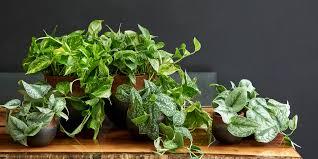 efeutute pflanzen und pflegen das haus